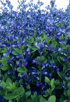 False Blue Indigo Plant