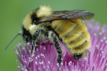 bee_pollen_FULL