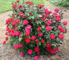 Winter Rose Care Irvingparkgardenclub S Blog